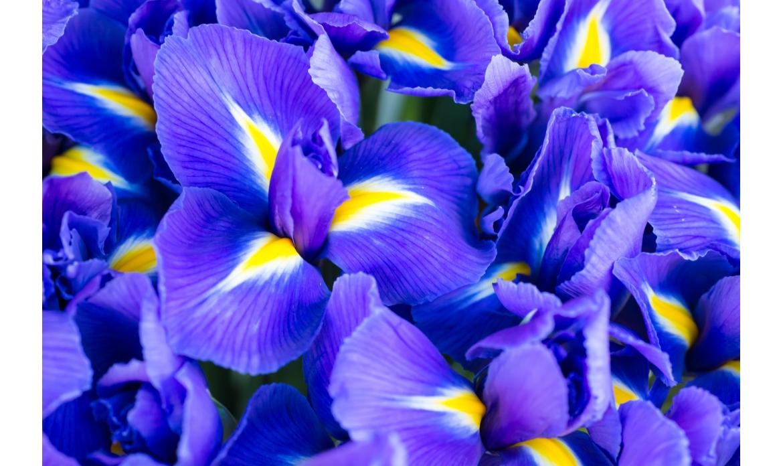 L'Iris Florentina, proprietà e simbologia